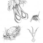 Pencil Illustration Fabulous Beast - Messy Finch - Details